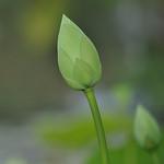 Donna Clarke - Flower Bud
