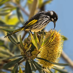 Richard Conn - New Holland Honey Eater