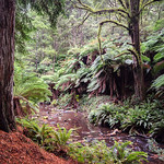 Ray Stabey - Redwood Forest Otways