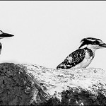 Dianne Willis - PIED-KINGFISHERS-