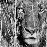 Helen Warnod - Lion - Zambia