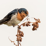 Dianne Willis - Welcome-Swallow
