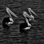 Jenny Sui - Pelican Parade