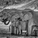 Richard Pilcher - Refreshing drink from the Chobe River