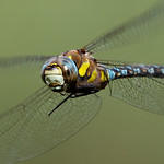 Jill Shaw - Dragonfly on the wing
