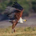 Richard Pilcher - In full flight Chobe