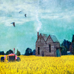 Marie Shaw - Amongst the canola