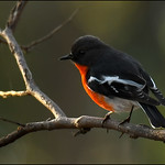 Dianne Willis - Male Flame Robin-