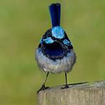 Jill Shaw - Blue wren