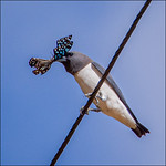 Ron Weatherhead - Woodswallow with butterfly