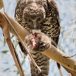 Dianne Willis - Day time snack--Powerful Owl