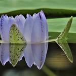 Jenny Sui - Purple double