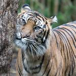 Geoff Shaw - Tiger 1