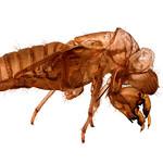 Jill Shaw - Cicada
