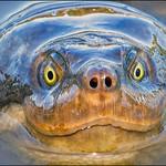 Ron Weatherhead - Turtle Close Up