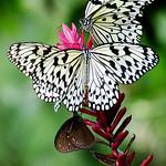 Felix Shparberg - Butterflies