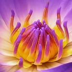 Jenny Sui - Purple lotus