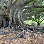 Fred Seeber - Elderly Tree