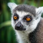 George Skarbek - Lemur