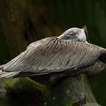 Jill Shaw - Pelican resting-