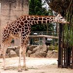 Ken Barnett - Giraff