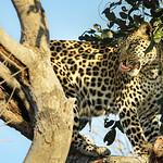 Ray Stabey - Leopard Feeding, Botswana