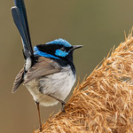 Dianne Willis - Superb Fairy-Wren