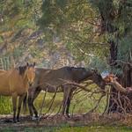 Vira Vujovich - Horses