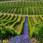 Jill Shaw - Yealands estate winery