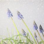Jill Anderson - Grape Hyacinths