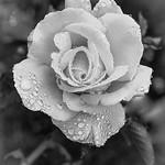 Hans Huysmans - Rose Rain Drops