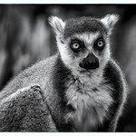 Ray Stabey - Lemur-Melbourne Zoo