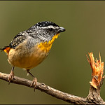 Dianne Willis - Male Spotted Pardalote-1