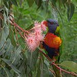 Marlene Chaitra - Rainbow Lorikeet Eating Flowers