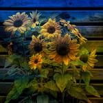 Jill Anderson - Sunflowers