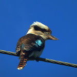 Donna Clarke - Kookaburra sits on the electric wire