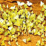 Jill Shaw - Butterflies