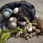 Elaine Whitton - Beach shells