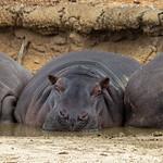 Elaine Whitton - Hippos