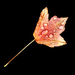 Angela McLeod - Autumn droplets