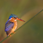 Richard Pilcher - Malachite Kingfisher