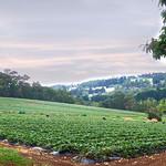 Vira Vujovich - Strawberry Field
