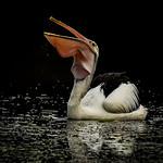 Dianne Willis - Drinking-Pelican