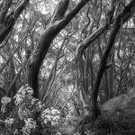 Trace O'Rourke - Snow Gums at Baw Baw