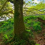 John Morter - Bluebell Dell (Devon-England)