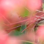 Donna Clarke - Flowering Gum