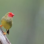 Jenny Sui - Red faced finch