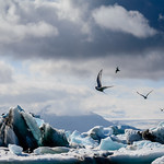 Mike Pollard - Arctic terns
