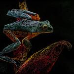Geoff Shaw - Splendid leaf frog 6