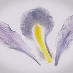 Jill Anderson - Iris petals